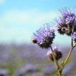 Фацелия – изящество в голубых тонах