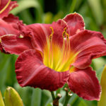 Лилейники — надежные друзья цветоводов