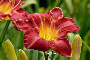Лилейники - надежные друзья цветоводов