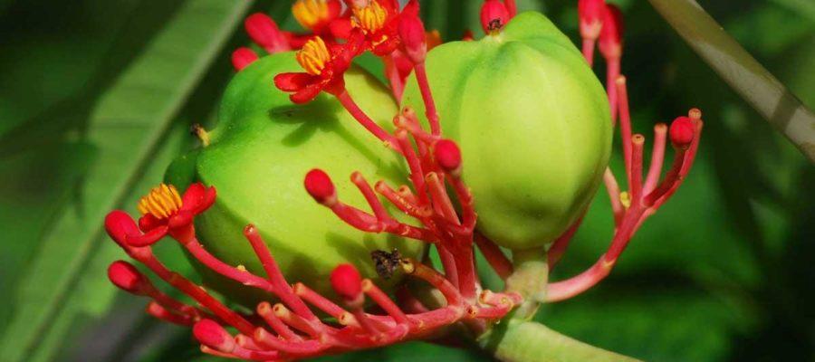 Ятрофа: уход и выращивание в домашних условиях