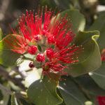 Метросидерос: выращивание новозеландского «Рождественского дерева» в домашних условиях