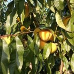 Как посадить персик из косточки