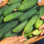 Как и чем подкормить огурцы