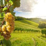 «Винный» виноград: особенности выращивания, популярные сорта