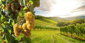 """""""Винный"""" виноград: особенности выращивания, популярные сорта"""
