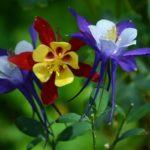 Аквилегия: посадка, уход и выращивание в открытом грунте