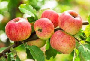 Как обрезать яблоню осенью