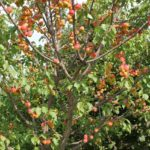 Описание сорта абрикос — Триумф Северный
