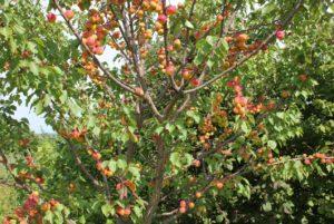 Описание сорта абрикос - Триумф Северный