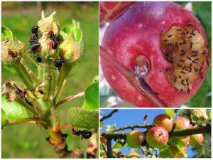 Чем обработать яблоню весной от плодожорки, тли и муравьев