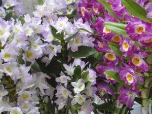 Уход и выращивание орхидеи Дендробиум Нобиле в домашних условиях