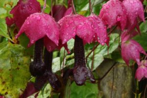 Родохитон «пурпурный колокол»
