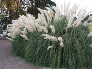Кортадерия или пампасная трава