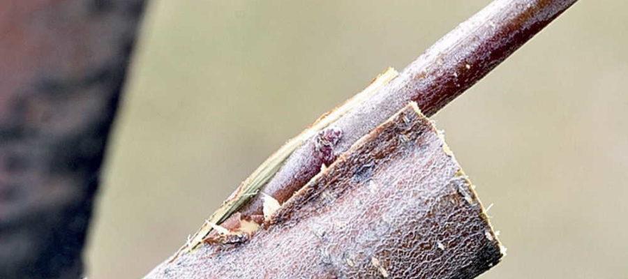 Прививка и перепрививка плодовых деревьев