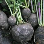 Черная редька: от посева до уборки и хранения