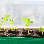 Пряные травы, которые можно вырастить на подоконнике