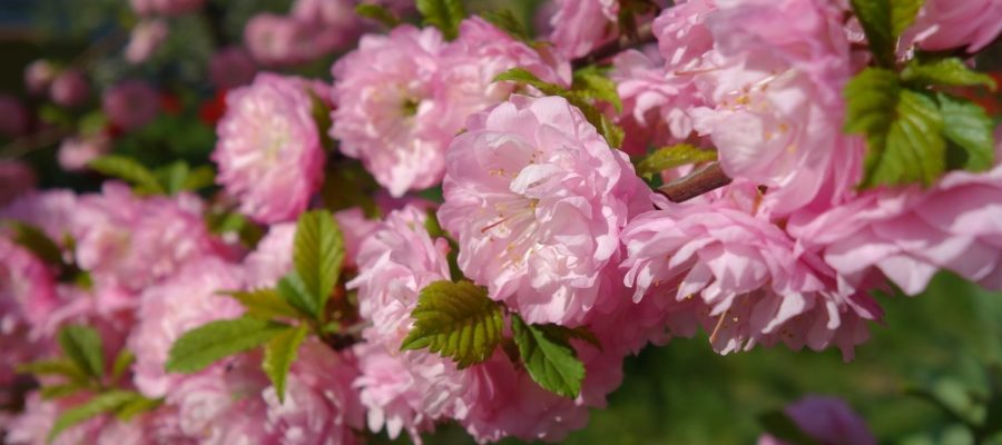 Луизеания – прелесть розовых тонов