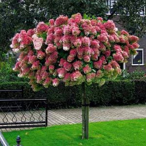 Древовидная роза. Капризная красавица или настоящая леди?