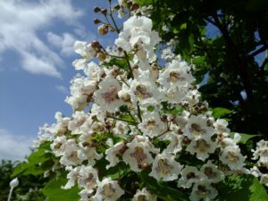 Удивительный символ семейного счастья – дерево катальпа