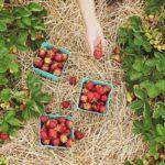 Осенняя обрезка и подготовка клубники к зиме
