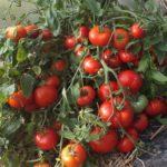 Подзимний посев томатов