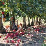 Когда и как белят плодовые деревья