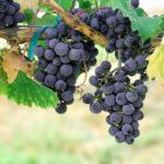 Подготовка лозы винограда к зиме