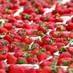 Как выращивать клубнику в теплице круглый год
