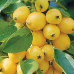 Яблоня Китайка золотая ранняя: фото и описание сорта