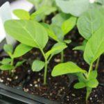 Рассада баклажанов: как вырастить, когда сажать, чем подкормить