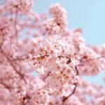 Сакура: выращивание и уход