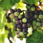 Опора для винограда: шпалеры своими руками