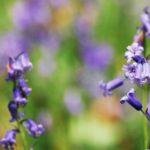 Садовый колокольчик многолетний: посадка и уход