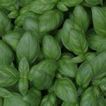 Базилик в горшке: свежие травы на кухне