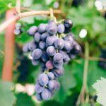 Как правильно сделать обрезку винограда весной